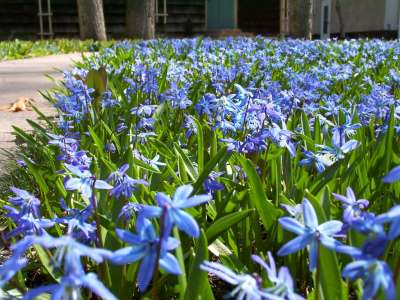 Blue Flowers In Lawn 3