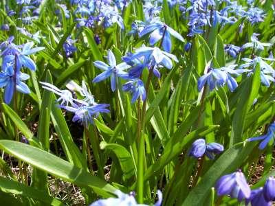 Blue Flowers In Lawn