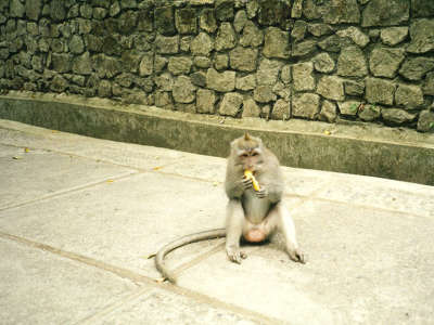 Monkey Eating Banana In Bali Indonesia