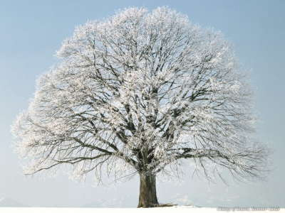 Snowy Tree on Christmas Day