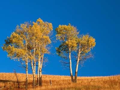 Autumn Aspen Trees, Yellowstone National Park,