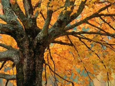 Autumn Maple, Bass Lake, North Carolina