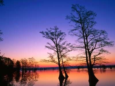 Bald Cypress Trees At Sunrise, Reelfoot National