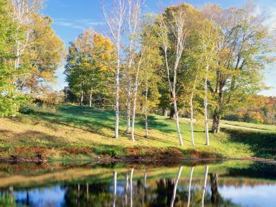 Birch Trees, Vermont