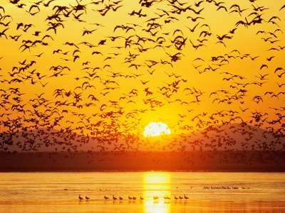Canada Geese, Tule Lake, National Wildlife Refuge, California
