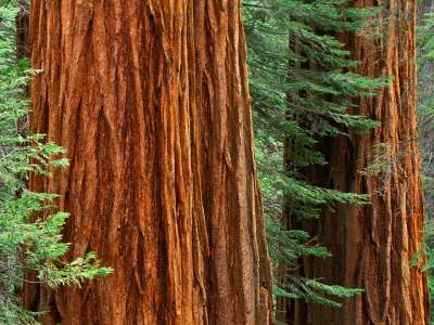 Giant Sequoia Trees, Mariposa Grove, Yosemite