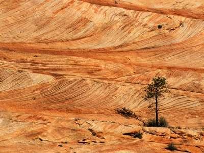Single Tree On Sandstone Formation, Zion Nationa