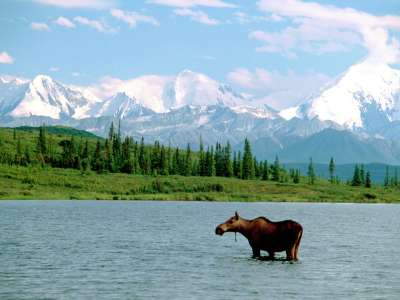 The Moose And The Mountain, Denali National Park