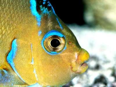 Atlantic Blue Angelfish