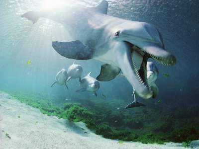 Bottlenose Dolphins Hawaii