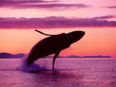 Crimson Flight Humpback Whale Alaska