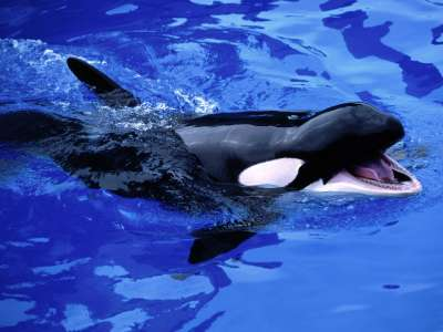 Feed Me! Killer Whale