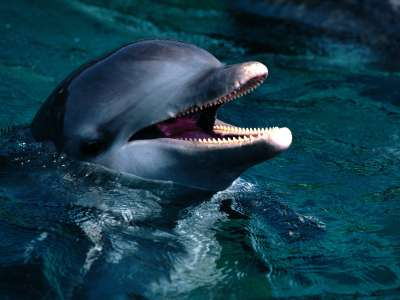 Introduction Bottlenose Dolphin