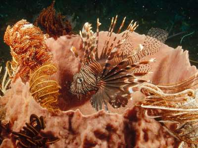 Lionfish Lurking Among Feather Star Crinoids
