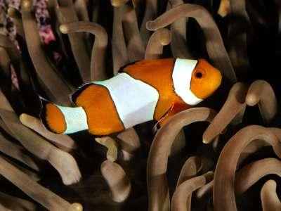 Percula Clownfish Indo Pacific