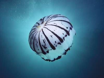 Purple Striped Jellyfish Southern California