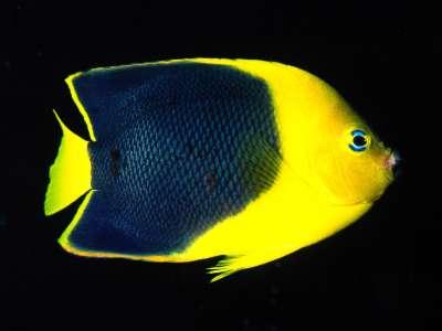 Rock Beauty Angelfish Indo Pacific