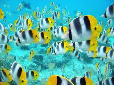 School Of Tropical Fish Tahiti