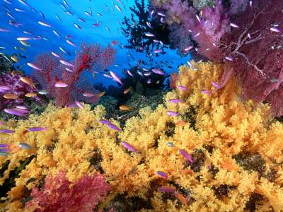 Soft Yellow Corals And Anthias Fish