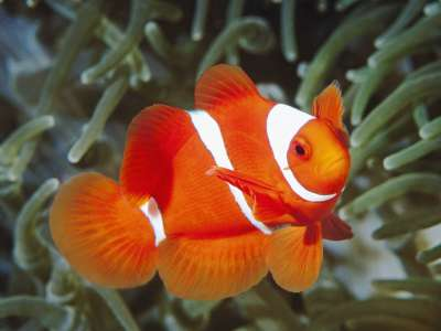 Spine Cheek Anemonefish Papua New Guinea