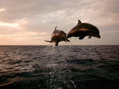 Taking Flight Bottlenose Dolphins
