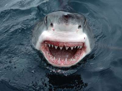 Yipes! Great White Shark South Australia