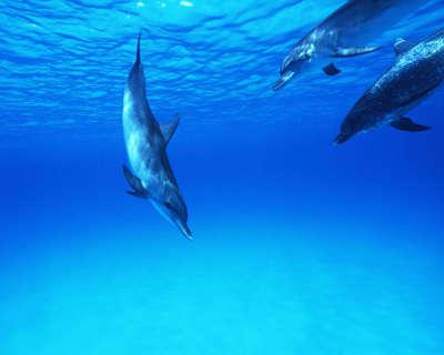 Dolphin  29