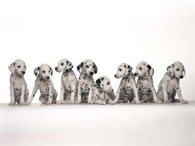 Cute Baby Dalmatians Dogs
