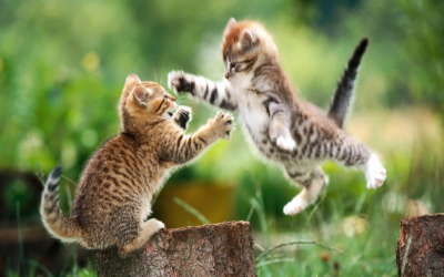 Fighting Cats