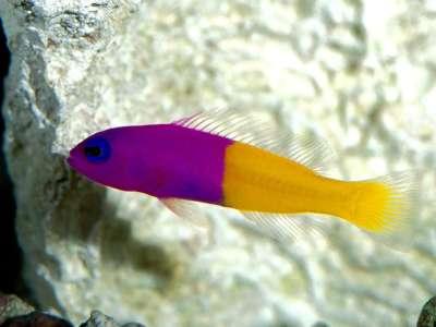 Fish Pink and Yellow
