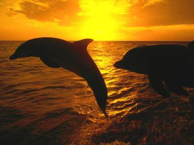 Dolphin - Sunset