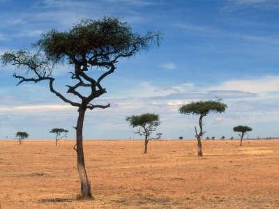 Scattered Acacia Trees Kenya Africa