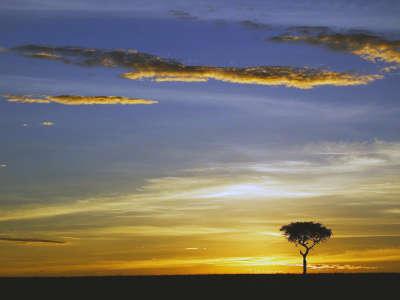 Single Acacia Tree At Sunrise Masai Mara Kenya