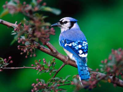 Beautiful Green Nature With Birds Bue Jay Bird