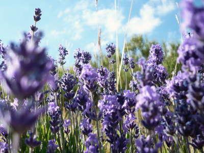 Violet Flowers Field
