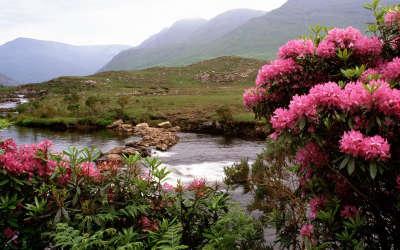 Rhododendrons Bloom Along The River Bundorragha Ireland