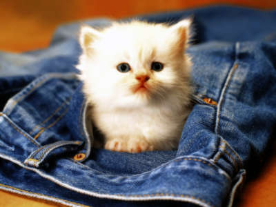 Cat in The Jeans