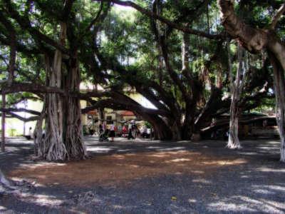 Banyan Tree Lahaina on Hawaii