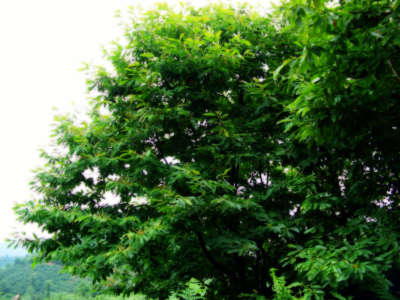 Cestnut Tree Kestane