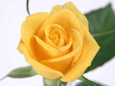 Yellow Rose Petals Flowers