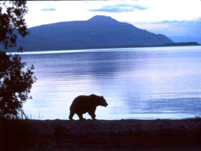 Bear Walking Along Naknek Lake