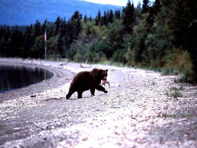 Bear With Fish Along Naknek Lake