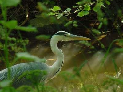 Heron (Ardea Cinera) 3