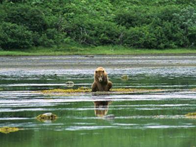 Izembek Bear