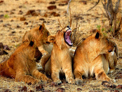 Lion Group With Practicing Cub