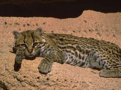 Cute Wildcat