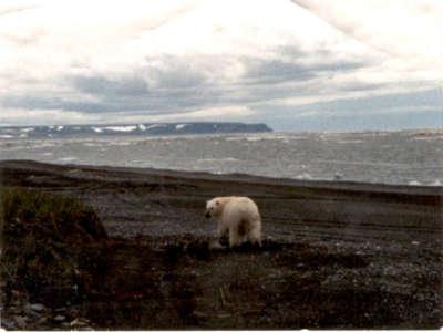 Point Hope Polar Bear