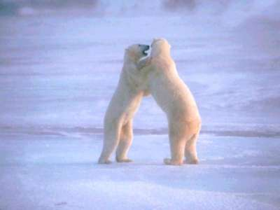 Pola Bears