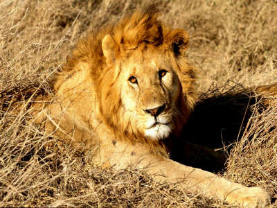 Lion watching us and rest