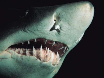 Sandtiger Shark Teeth